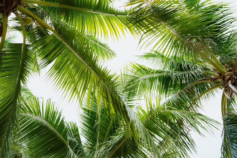 Coconut palm tree with blue sky for summer holiday and vacation stock images