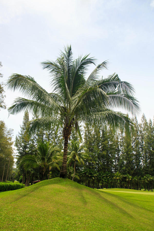 Coconut palm tree at edge of golf green in Thailand. royalty free stock photography