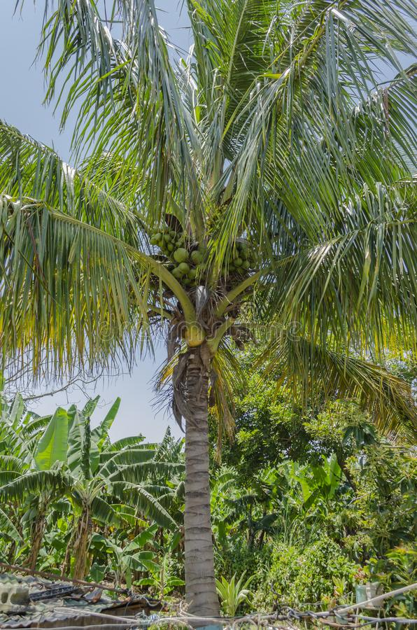 Coconut Palm Tree With Fruits royalty free stock photos