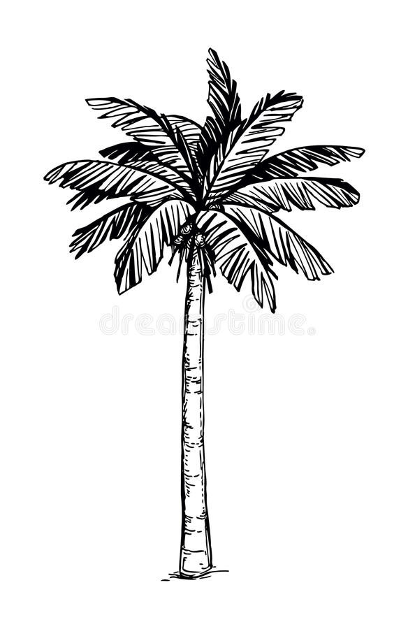 Coconut palm tree. Hand drawn vector illustration of coconut palm tree. Isolated on white background. Ink sketch. Retro style