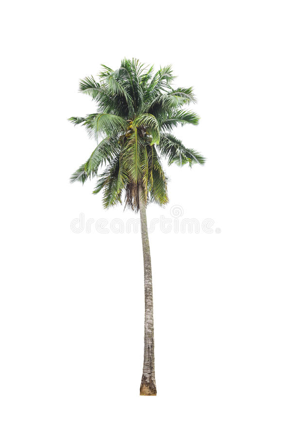 Coconut palm tree on isolated.  royalty free stock photos