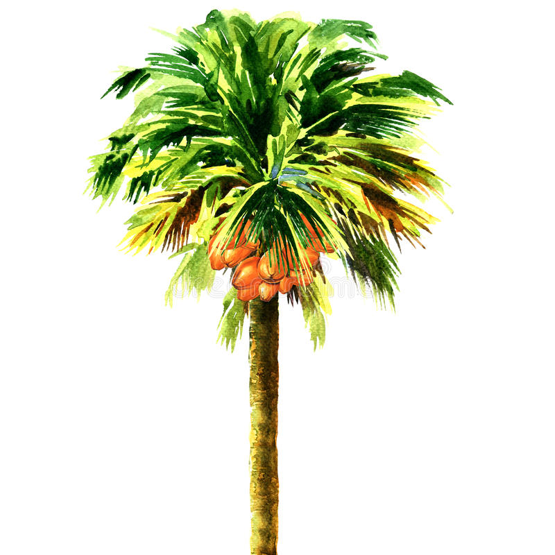 Coconut palm tree isolated, watercolor illustration royalty free illustration