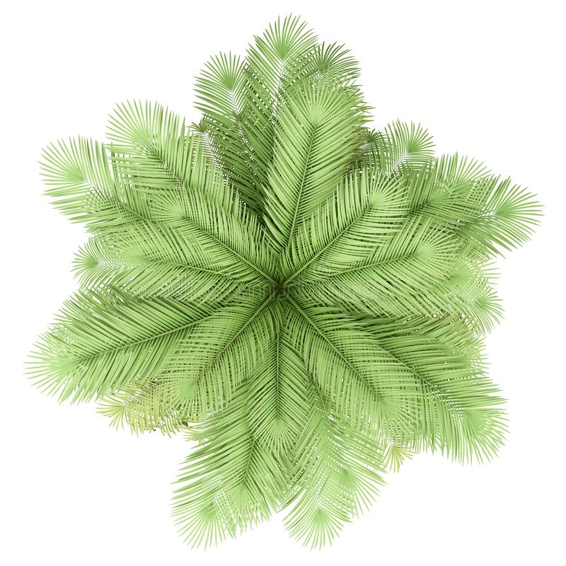 Coconut palm tree isolated on white. top view. Coconut palm tree isolated on white background. top view vector illustration