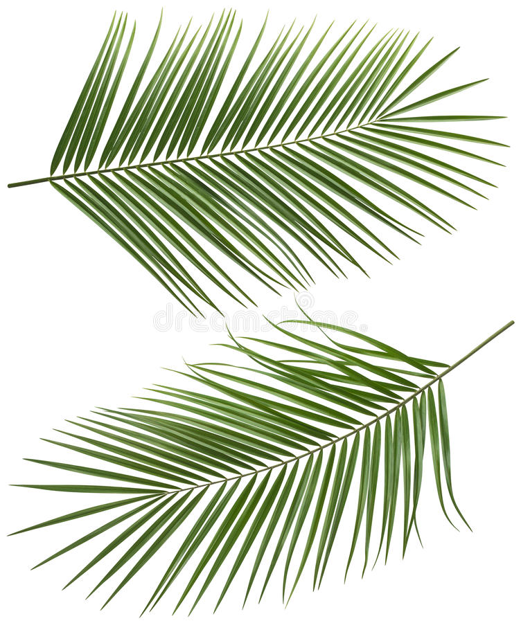 Coconut palm tree long leaves set 2 isolated stock image