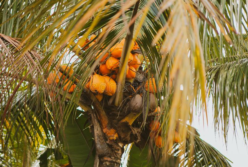 Coconut palm in Bali. A coconut palm tree with a lot of coconuts. Bali island, Indonesia royalty free stock photo