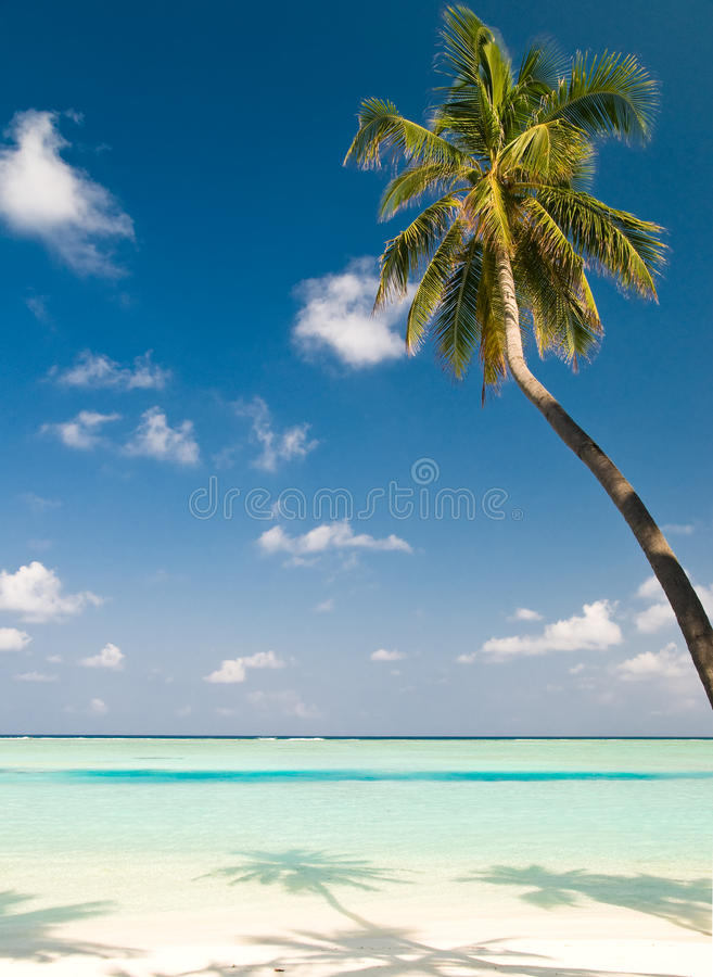Free Coconut Palm Tree On An Unspoilt Stock Image - 11769011