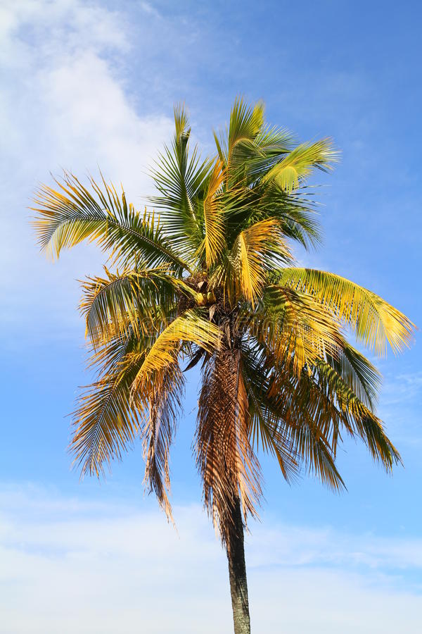 Download Coconut Palm Tree Royalty Free Stock Images - Image: 33325239