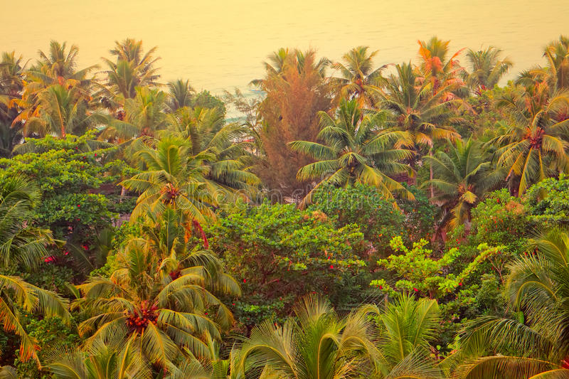 Coconut palm tree with ripe nuts. Kerala. Coconut palm tree with ripe nuts, end of December, Kerala royalty free stock image