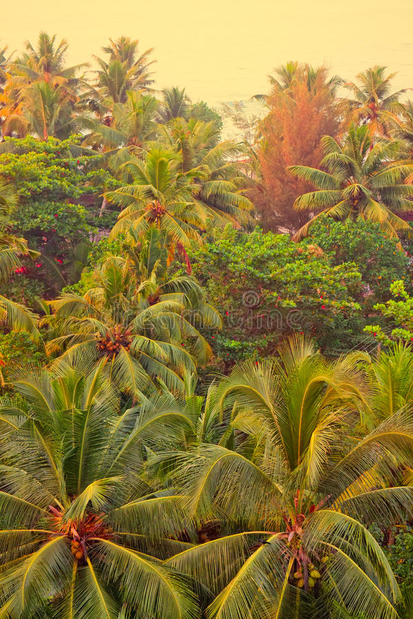 Coconut palm tree with ripe nuts. Kerala. Coconut palm tree with ripe nuts, end of December, Kerala royalty free stock photos