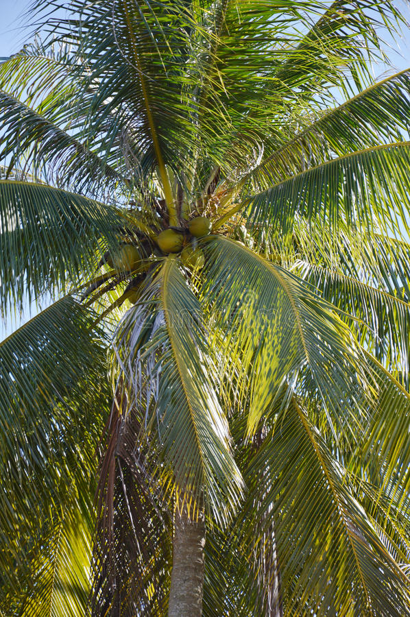 Download Coconut palm stock photo. Image of palm, branch, cloud - 35138090