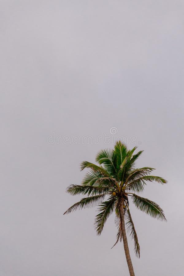 Coconut palm tree silhouette on a grey sky royalty free stock images
