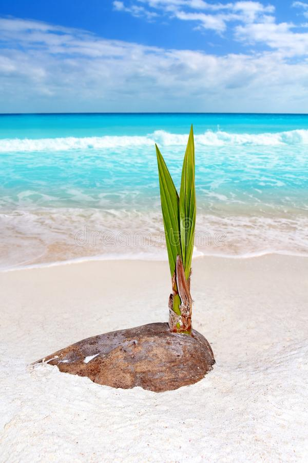 Download Coconut Palm Tree Sprout Grow Tropical Beach Stock Photography - Image: 19467512