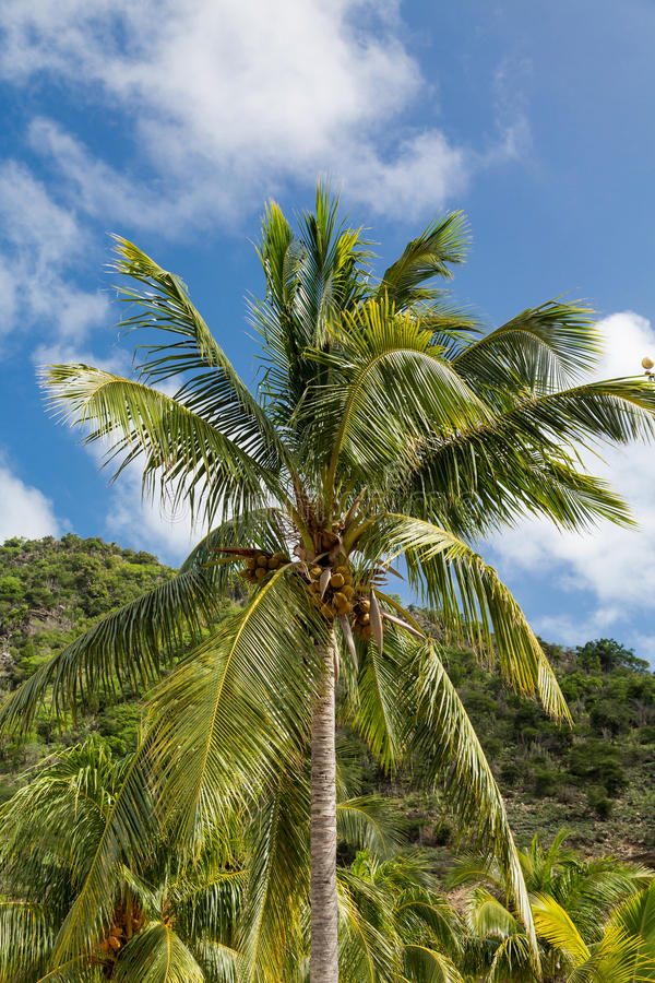 Coconut Palm Tree in Tropics stock images