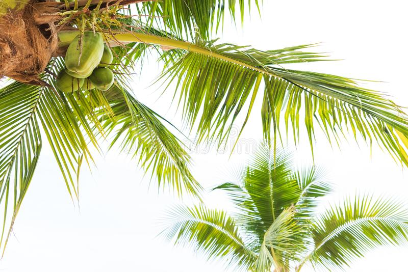 Coconut palm tree with white sky for summer holiday and vacation stock images