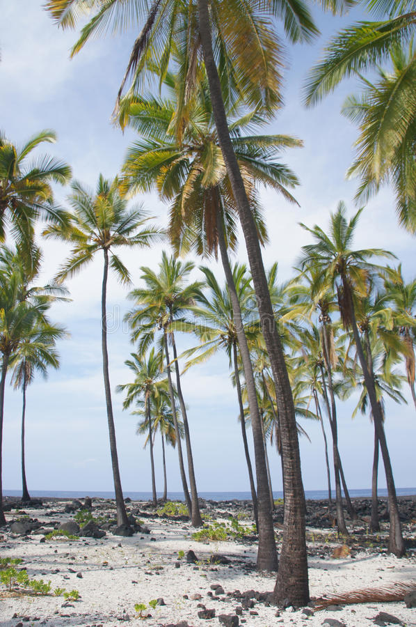 Download Coconut palm trees stock image. Image of hawaii, place - 28576271