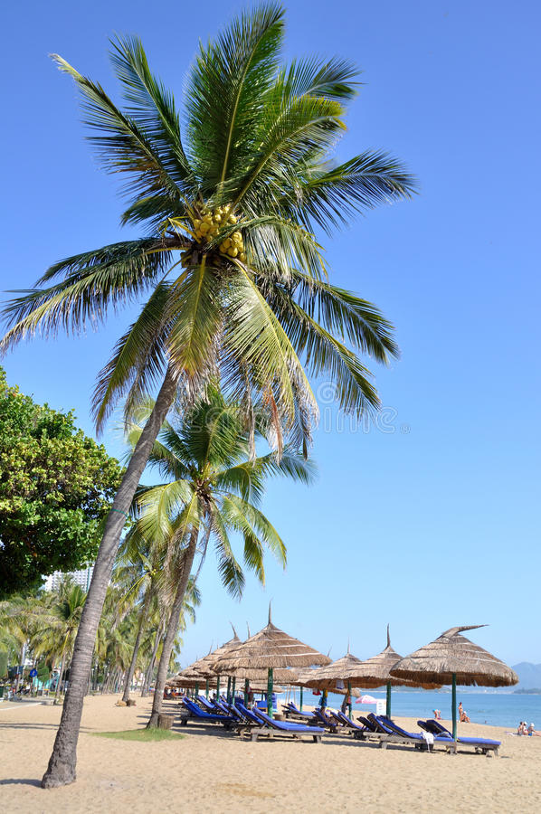 Download Coconut Palm Trees stock photo. Image of blue, fruit - 31726550