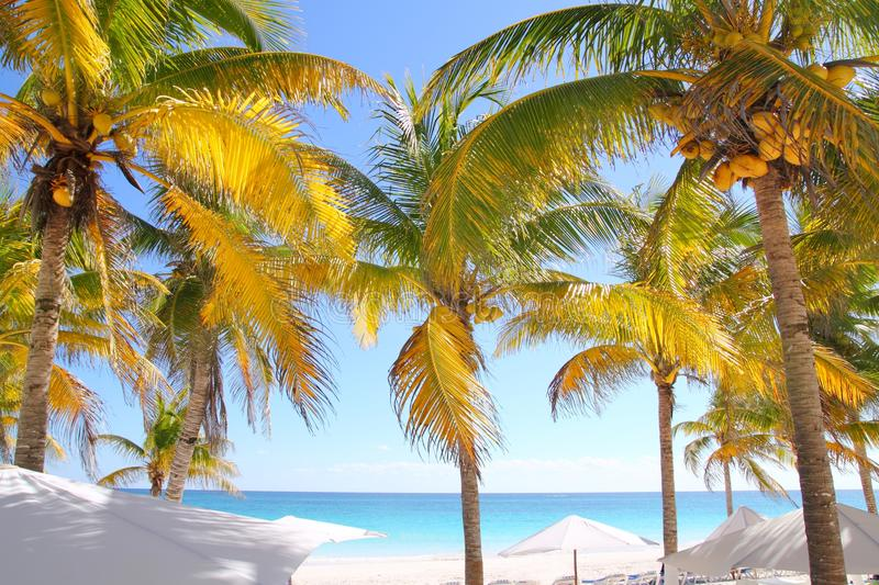 Coconut palm trees Caribbean tropical beach stock images