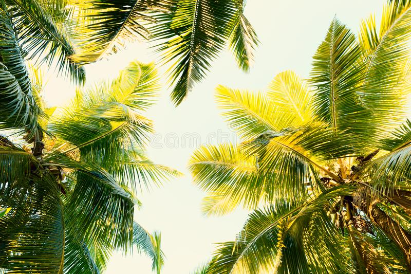 Coconut palm trees on clear summer sky. Tropical background. Low Angle View.  Toned image stock image