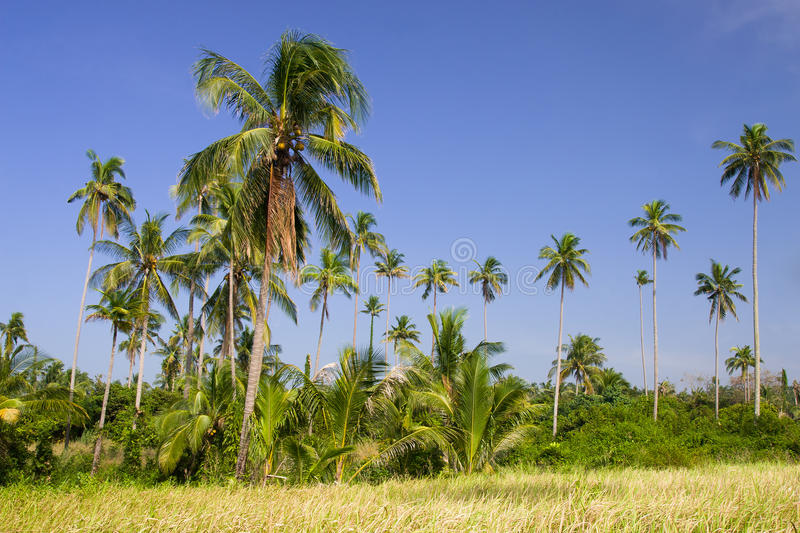 Coconut Palm Trees Grove royalty free stock image