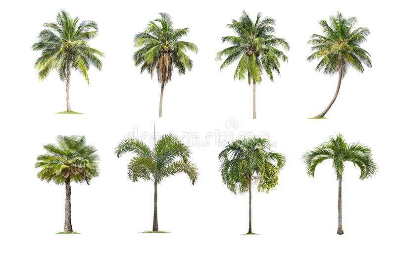 Coconut and palm trees Isolated tree on white background , The collection of trees.Large trees are growing in summer stock image