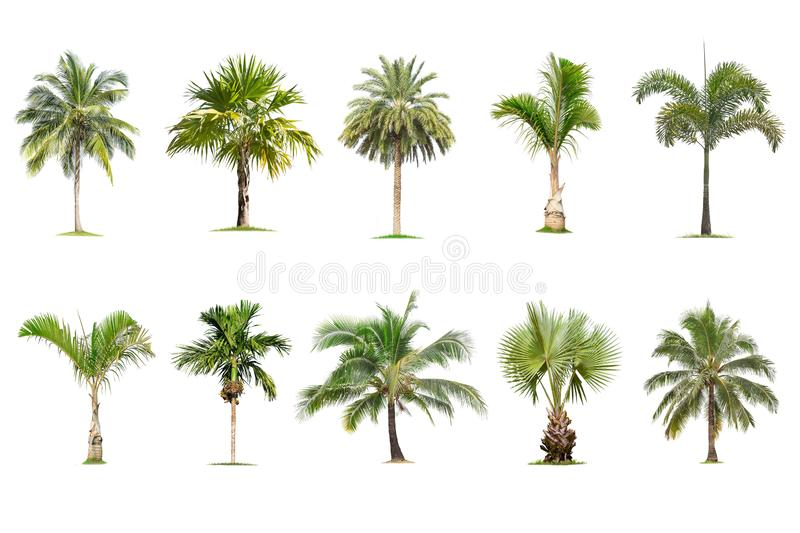 Coconut and palm trees Isolated tree on white background , The collection of trees.Large trees are growing in summer. Making the trunk big royalty free illustration