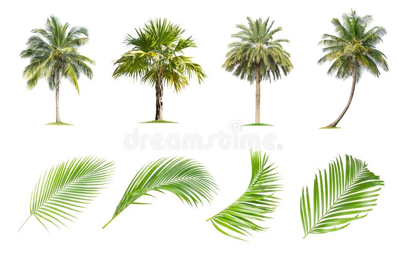 Coconut and palm trees, Palm leaf Isolated tree on white background. The collection of trees.Large trees are growing in summer, making the trunk big royalty free illustration