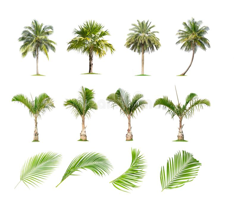 Coconut and palm trees, Palm leaf Isolated tree on white background. The collection of trees.Large trees are growing in summer, making the trunk big vector illustration