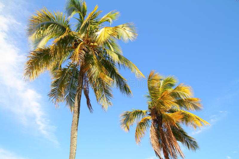 Download Coconut Palm Trees Stock Photo - Image: 33324870