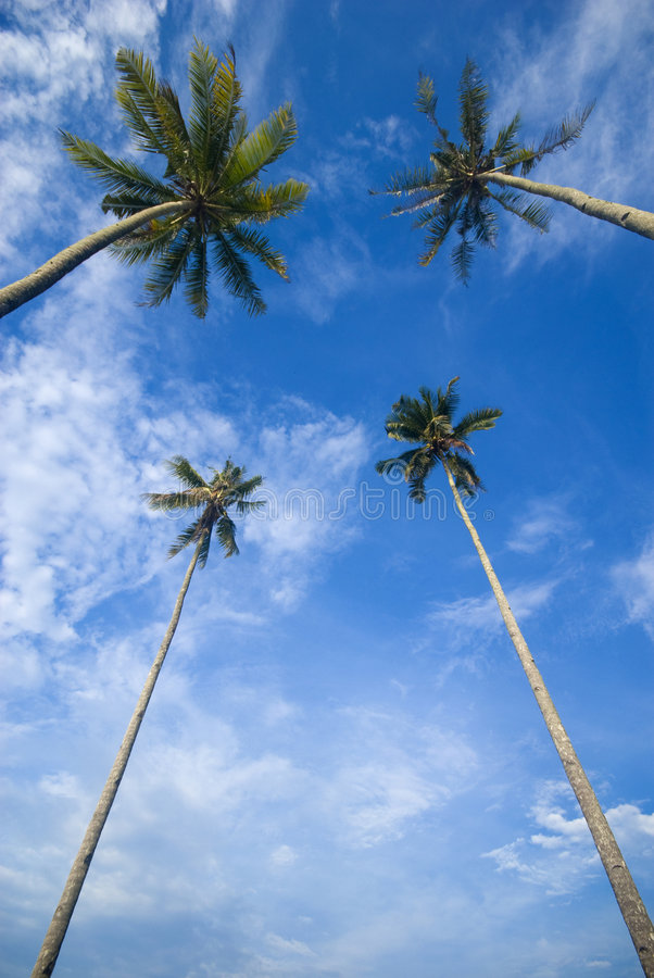 Coconut palm trees reaching out to skies stock photo