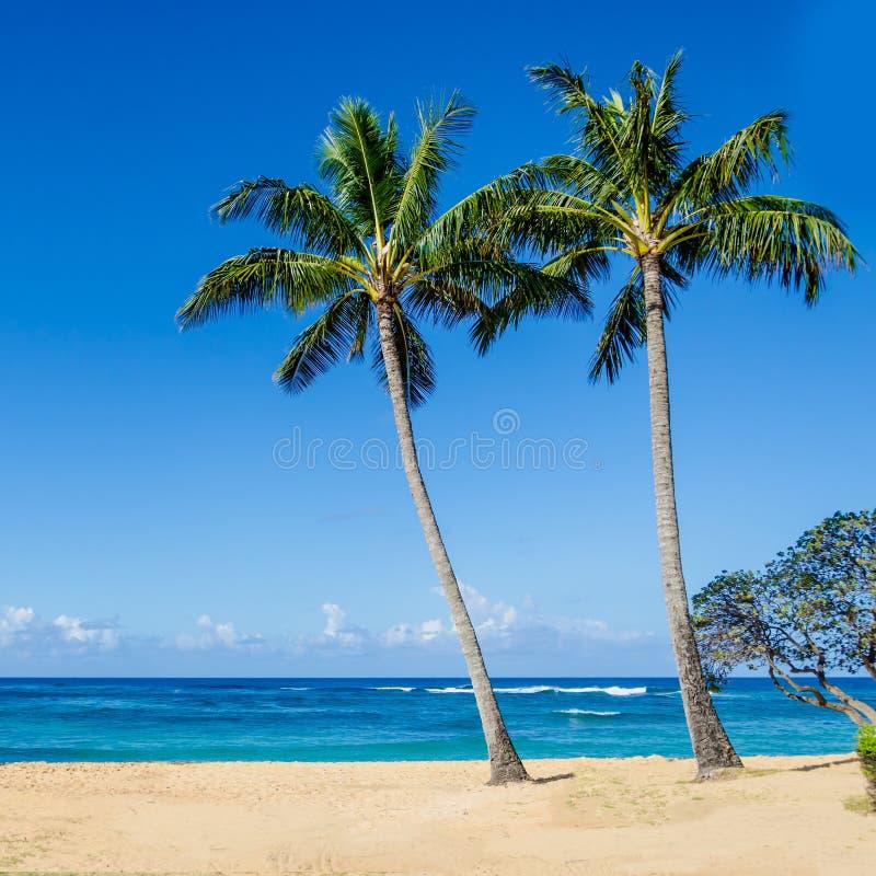 Palm Tree Beach: Coconut Palm Trees On The Sandy Poipu Beach In Hawaii