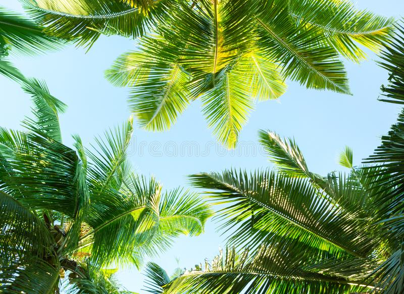 Coconut palm trees on sky background.   Low Angle View royalty free stock image