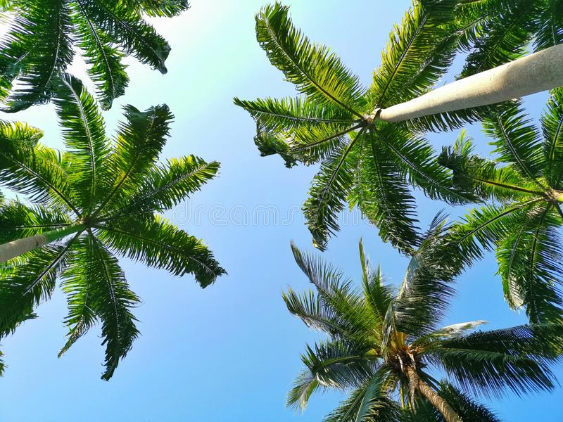 Coconut palm trees with sunlight under blue sky. In daytime stock photos