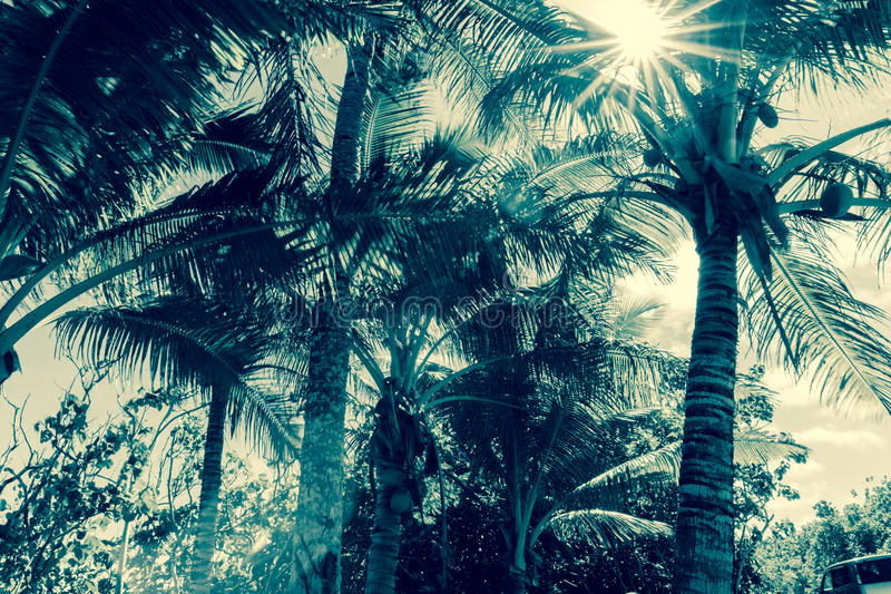 Coconut palm trees in tropical Niue sun flare through fronds royalty free stock image