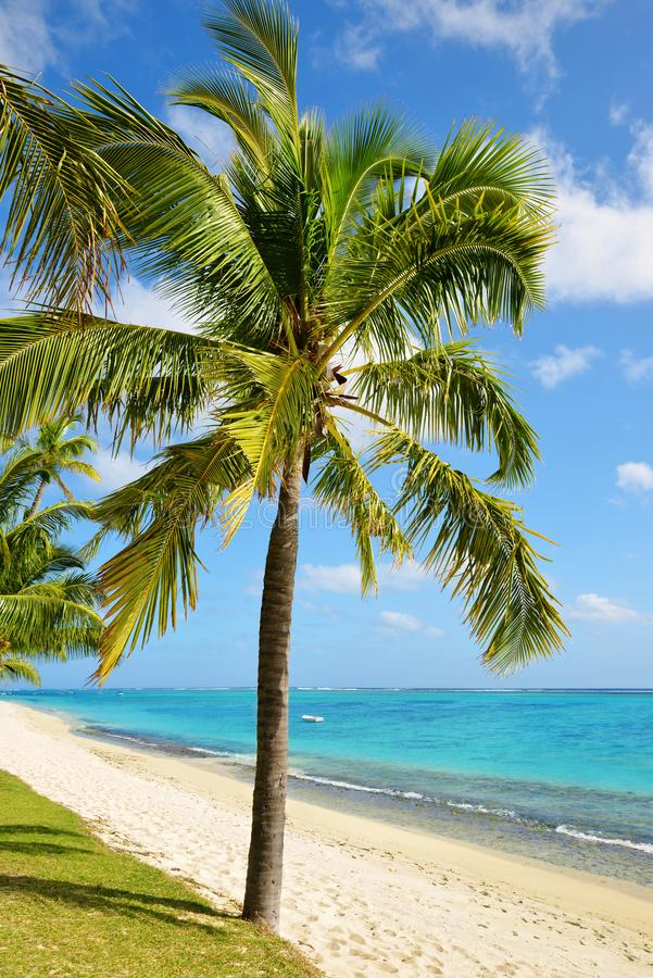 Coconut palm trees on tropical sandy beach of Mauritius island. stock photo