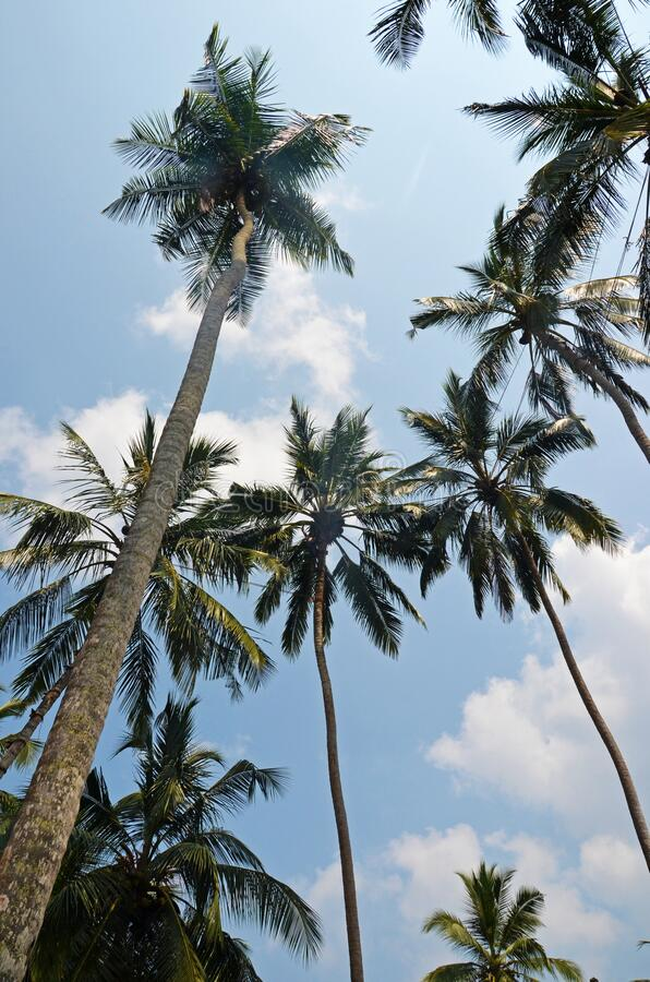 Free Coconut Palm Trees Used For Toddy Tapping In Sri Lanka Tropical Beach Stock Photography - 178804222