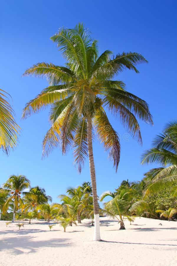 Coconut palm trees white sand tropical paradise royalty free stock image