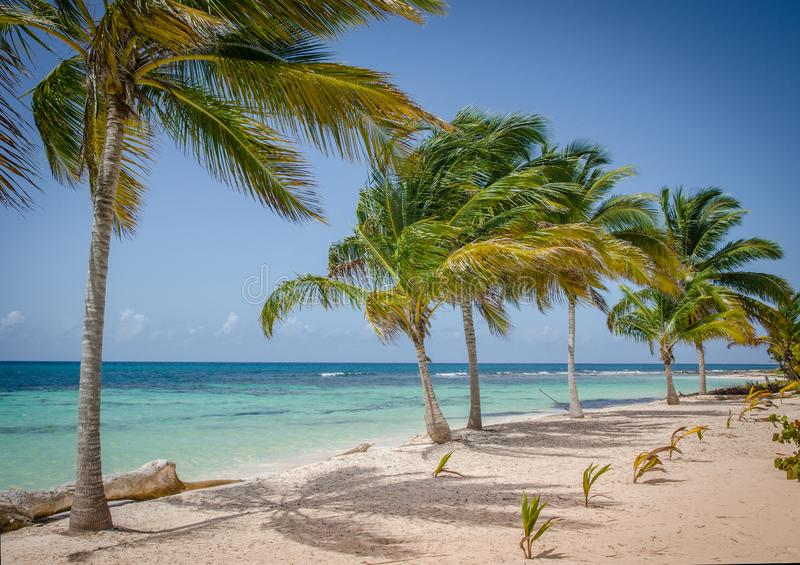 Coconut palm trees on white sandy beach in Saona island, Dominican Republic.  royalty free stock image