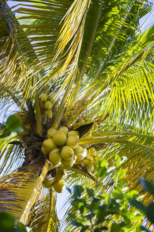 Coconut Palm in Tropical Garden royalty free stock photography