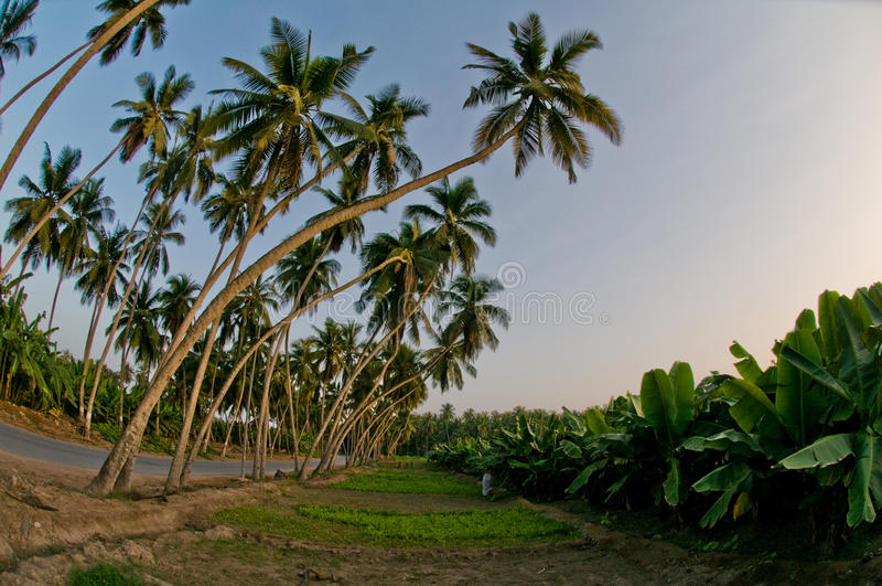 Coconut Palms royalty free stock photo