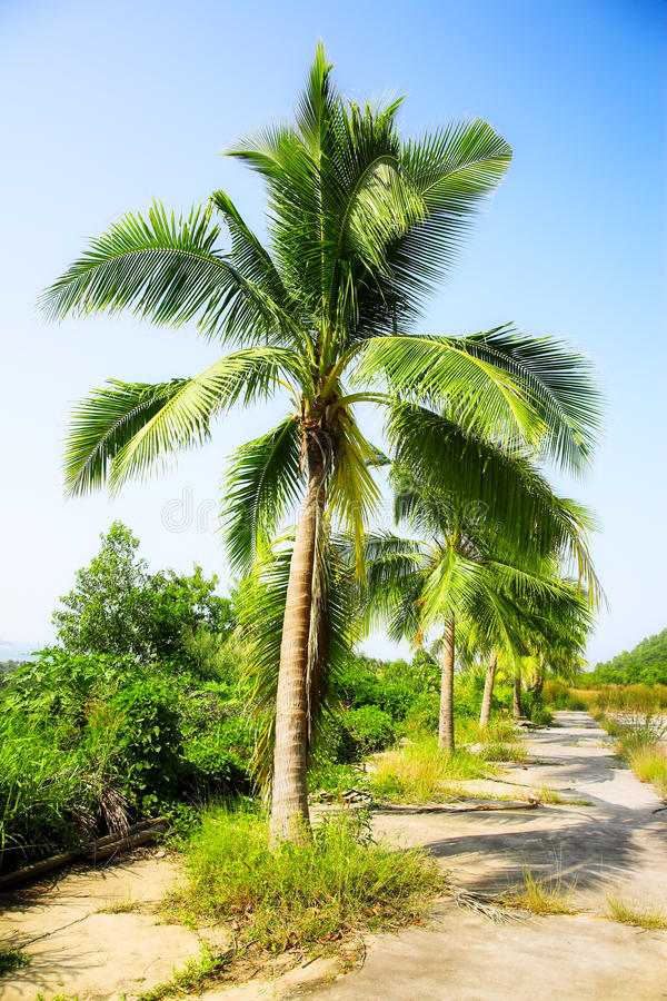 Coconut Palms Royalty Free Stock Photos