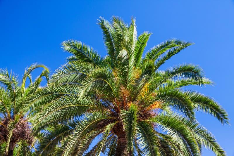 Coconut palms on blue sky royalty free stock photography