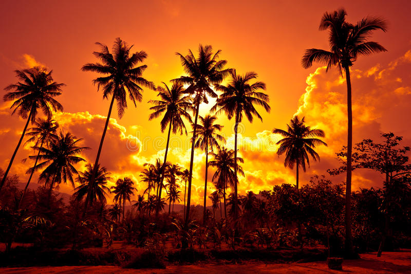 Coconut palms on sand beach in tropic on sunset royalty free stock photos