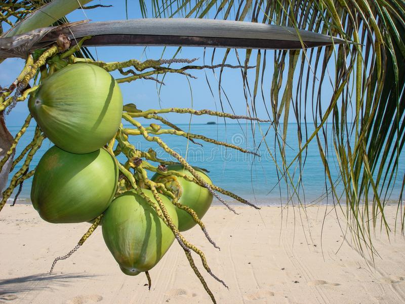 Smell of coconuts royalty free stock image