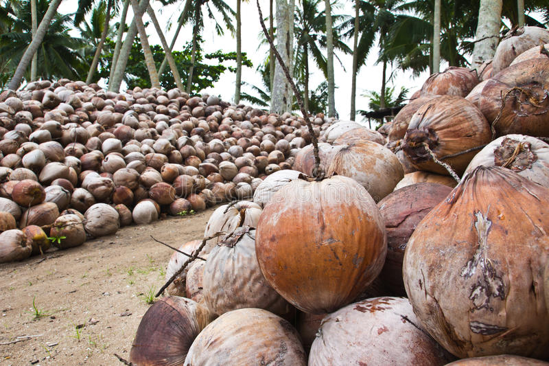 Download Coconut pile stock photo. Image of agriculture, shell - 25349612