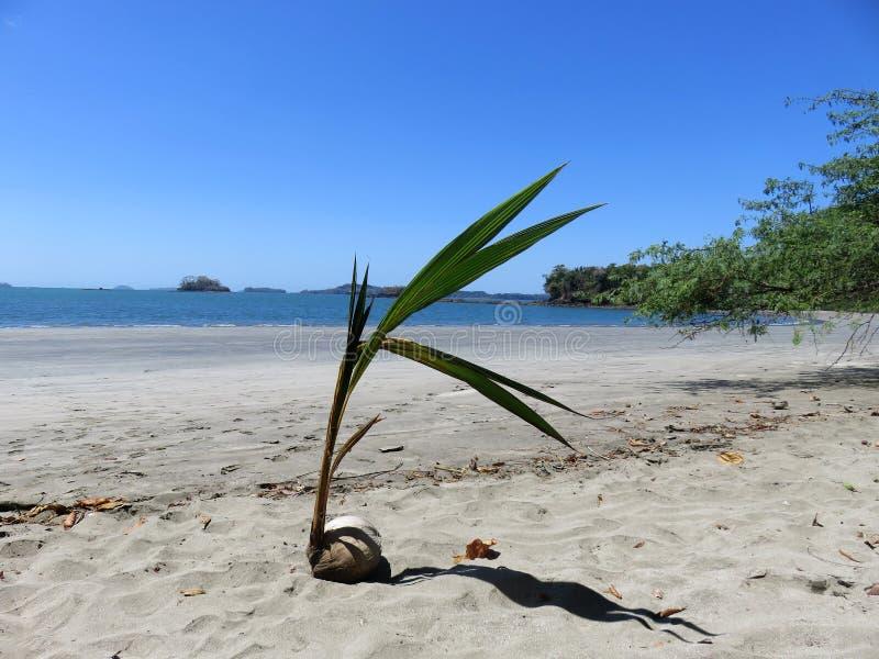 Coconut plant  Boca Chica Panama. Coconut plant Playa Coco on Isla Boca Brava in Boca Chica Panama royalty free stock photography