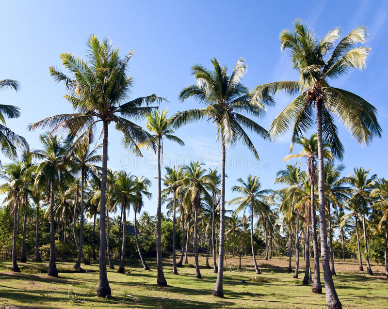 Download Coconut plantation stock photo. Image of travel, several - 20939322