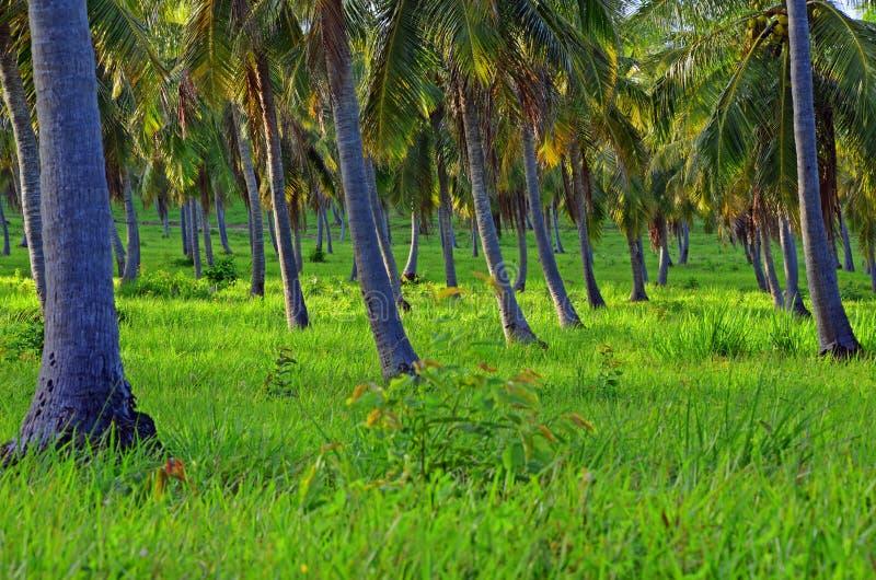 Download Coconut plantation stock photo. Image of coast, sunrise - 26761608