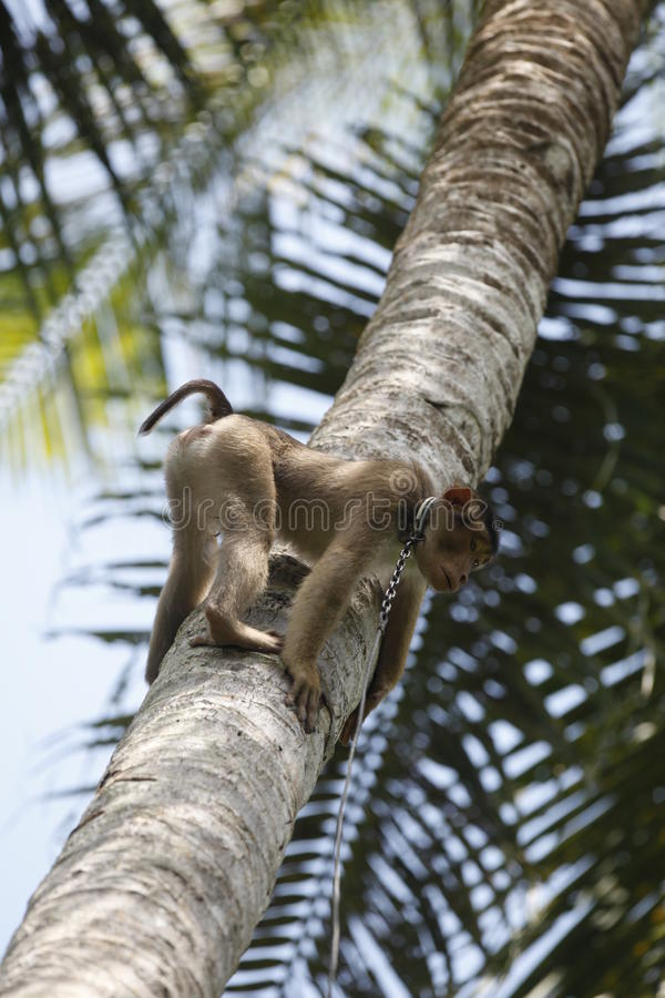 Download Coconut plucking monkey stock image. Image of asia, sumatra - 12957207