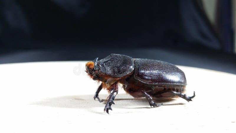 Coconut rhinoceros beetle stock image