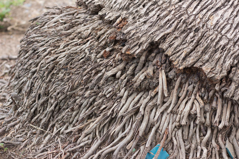 coconut root royalty free stock image
